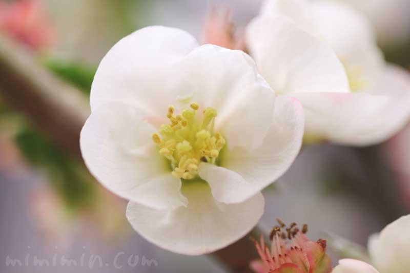 白い木瓜の写真と花言葉の画像