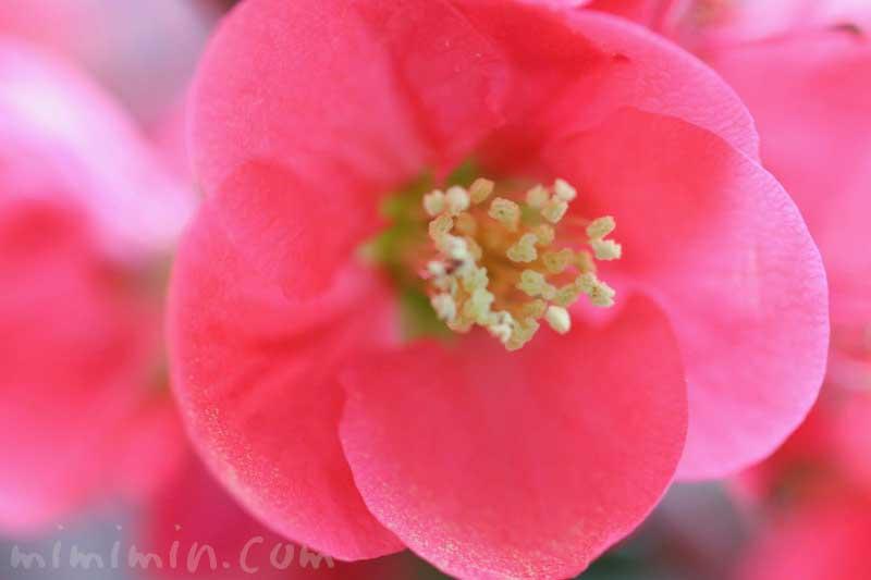 ボケ(赤)花の写真と花言葉の画像
