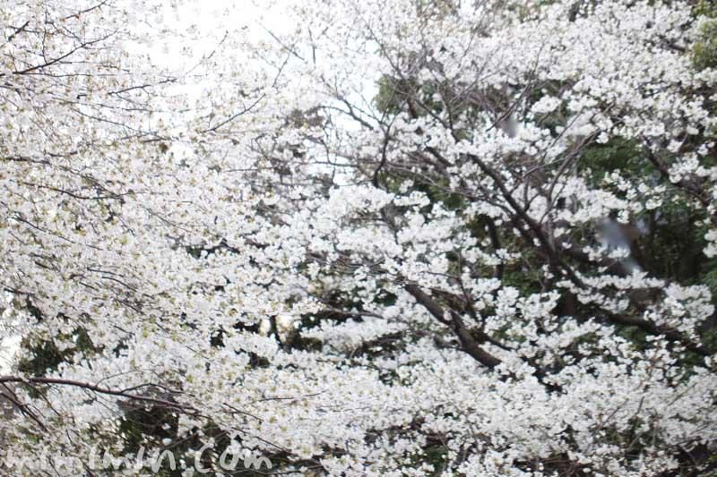 大島桜の花の写真・桜の花言葉の画像