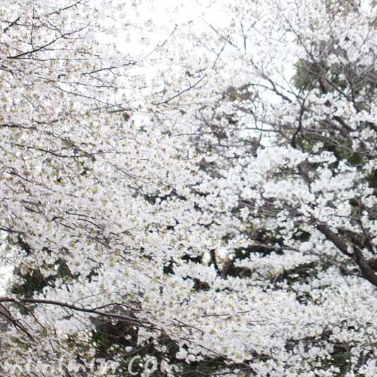 オオシマザクラの花の写真