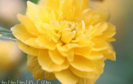 ヤエヤマブキの花の画像