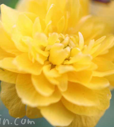 ヤエヤマブキ(八重山吹)の花の写真・ヤマブキ(山吹)の花言葉