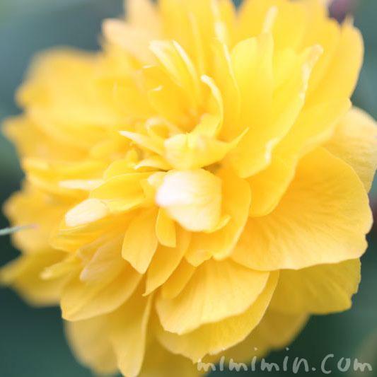 八重山吹の花の写真