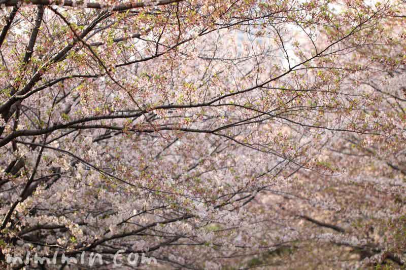 散りかけの桜の画像