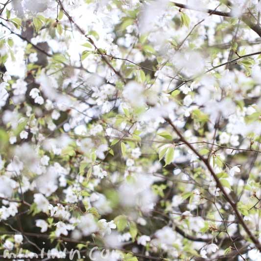 オオシマザクラの写真と花言葉
