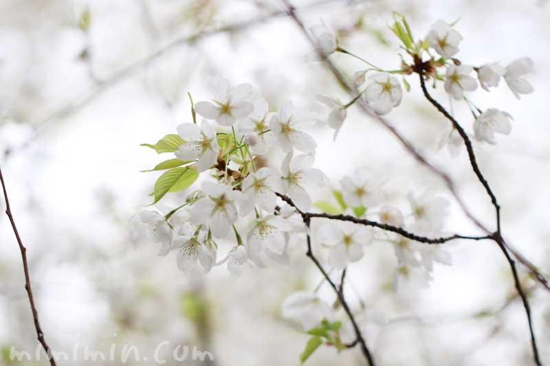 オオシマザクラの花の写真と花言葉