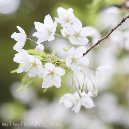 大島桜の写真と花言葉
