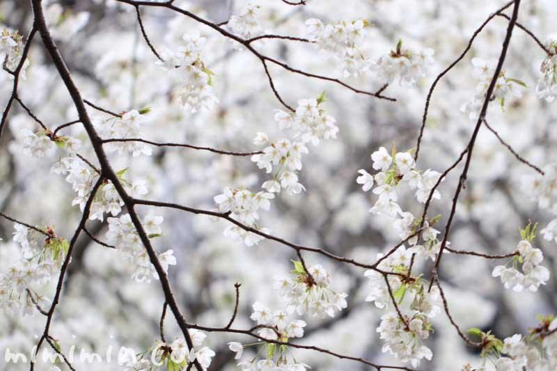 オオシマザクラの写真と花言葉の画像