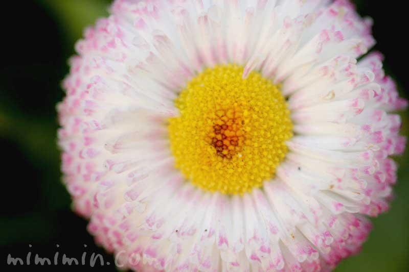 雛菊の花言葉と花の写真の画像