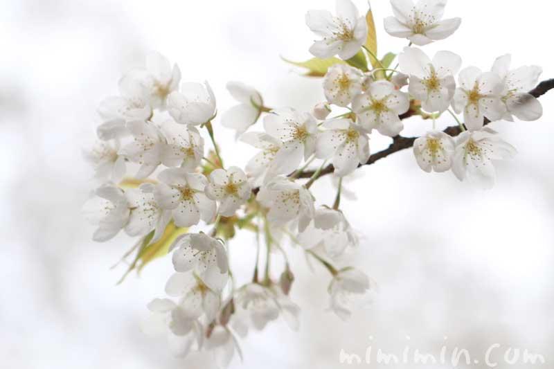 白い桜|オオシマザクラ