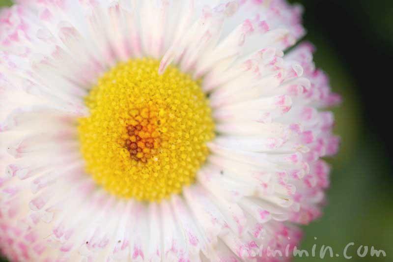 デージーの花言葉と花の写真(白×ピンク)の画像