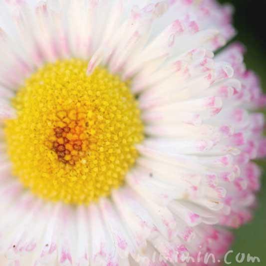 デージーの花言葉と花の写真の画像