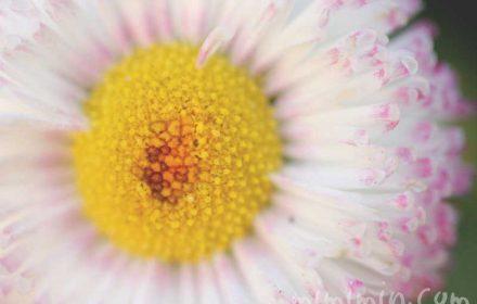ひなぎく 雛菊(白×ピンク)の写真と花言葉の画像
