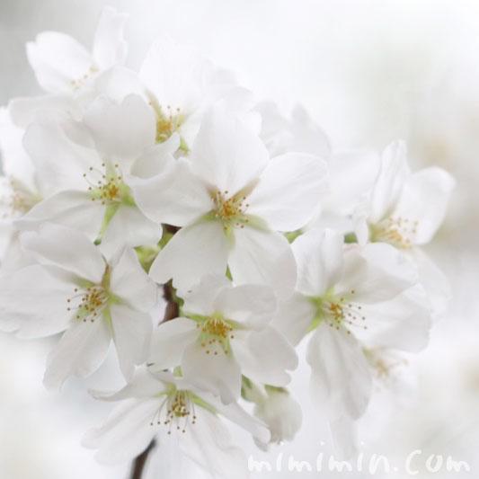 大島桜の花の写真と花言葉