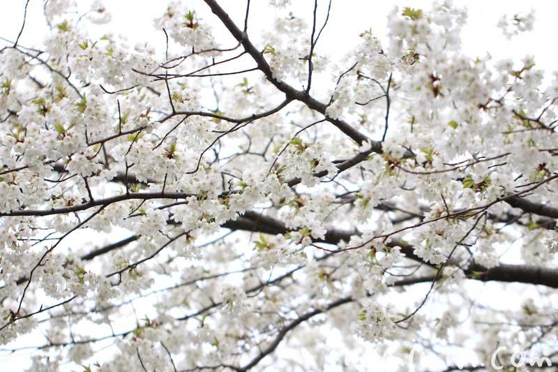大島桜の花の画像