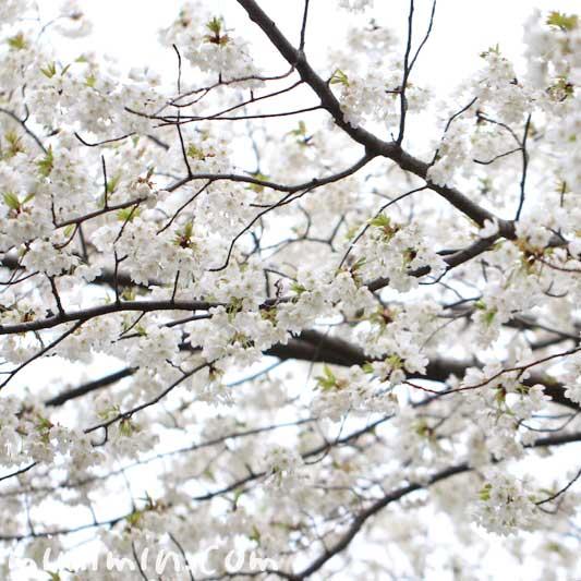 白い桜|大島桜の画像