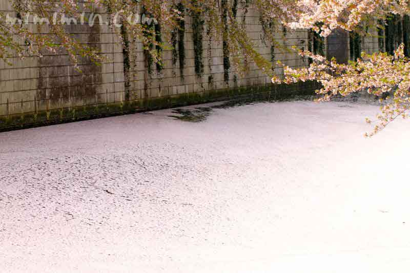 花筏(目黒川の桜)の写真