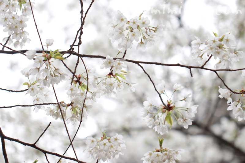 大島桜の花の写真・サクラの花言葉