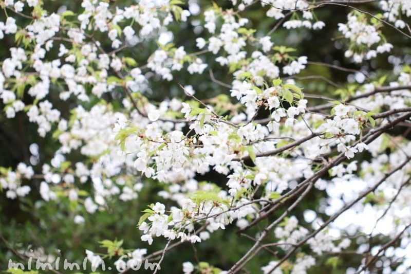 白い桜|大島桜