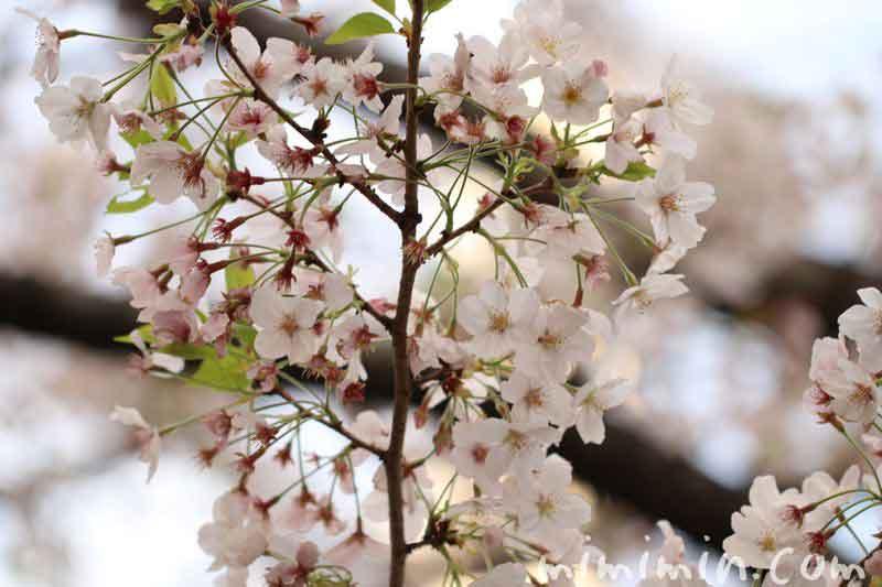 散りかけの桜の花
