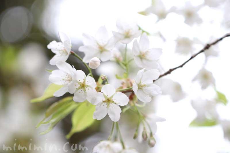 大島桜の花の写真と花言葉の画像