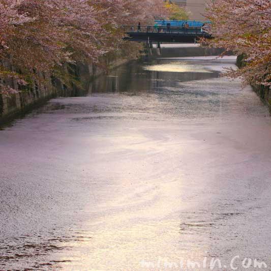 目黒川の花筏