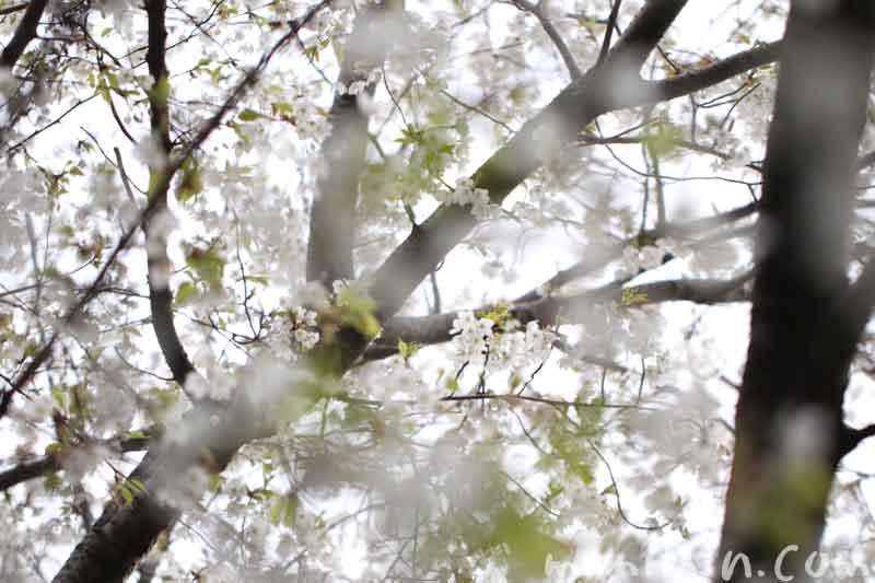 大島桜の花の写真・サクラの花言葉の画像