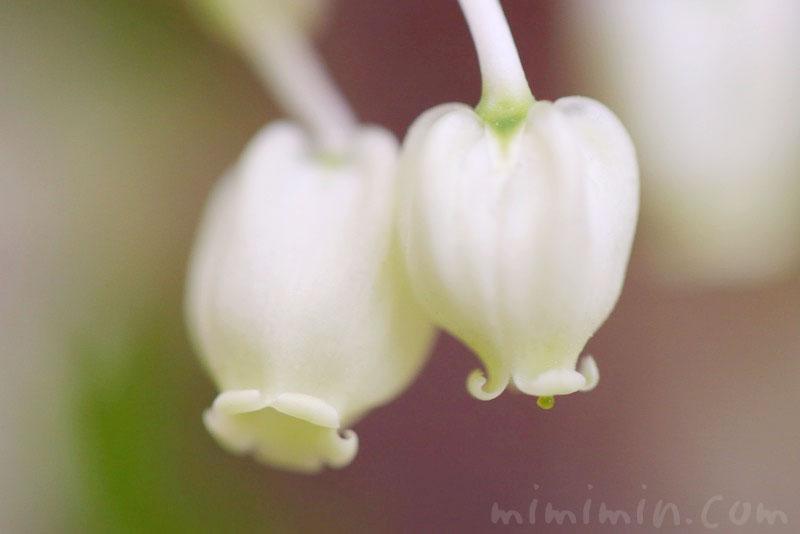 満天星躑躅の花の写真