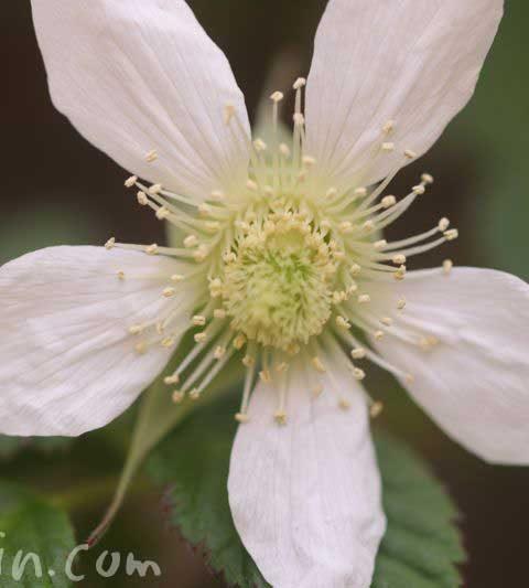 クサイチゴ(草莓)の花の写真・花言葉・名前の由来