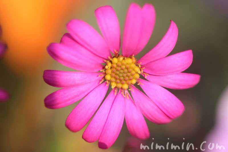 プラキカム・ピンクの画像