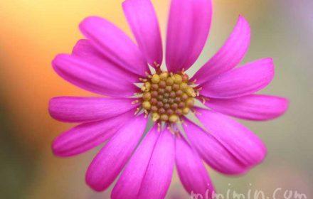プラキカムの花・ピンクの写真