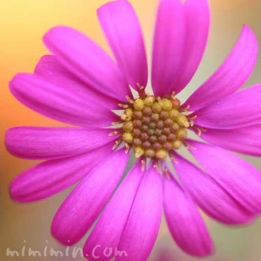 プラキカムの花の写真