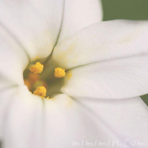 花韮の花の写真・花言葉