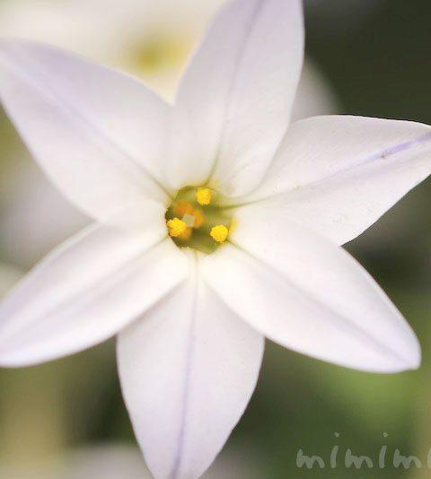 ハナニラの花の写真・ハナニラの花言葉