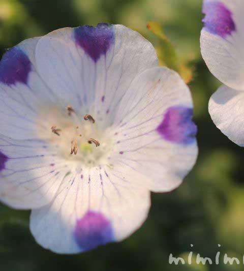 ネモフィラ・マクラタの花の写真|ネモフィラの花言葉・誕生花