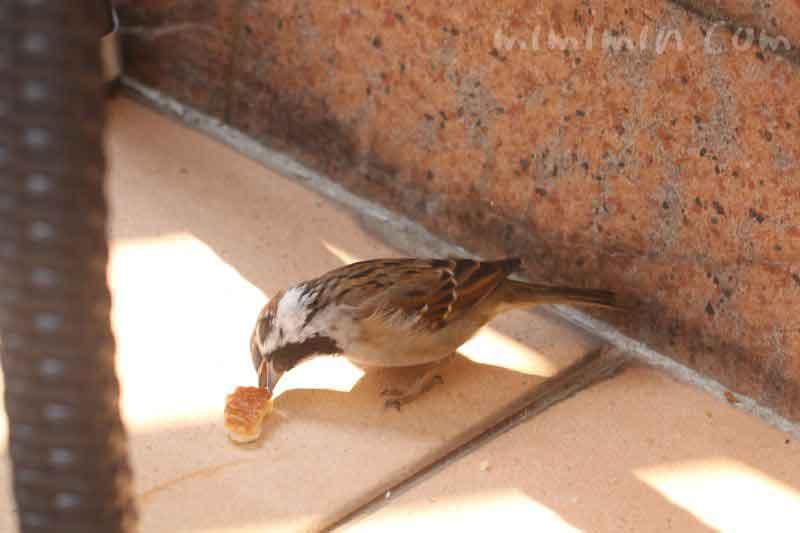 パンを食べる雀