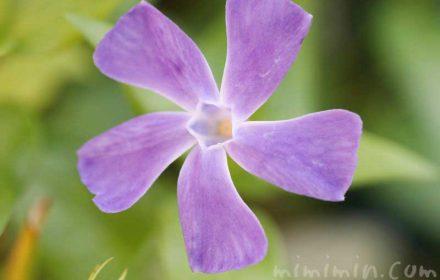 ツルニチニチソウの花の写真と花言葉の画像