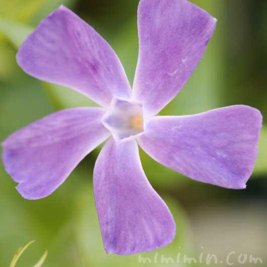 ツルニチニチソウの写真と花言葉の画像