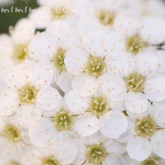 コデマリの花の写真・花言葉