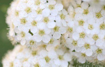 小手毬の画像・花言葉の画像