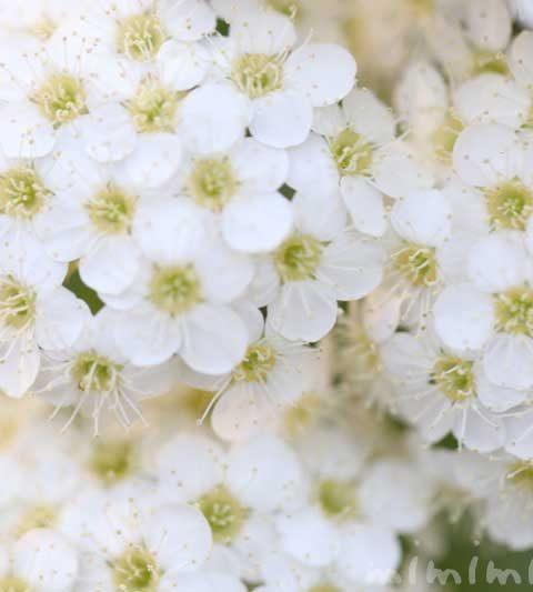 コデマリの花の写真・花言葉・名前の由来