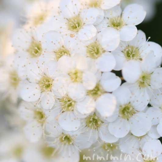 小手毬の花言葉の写真