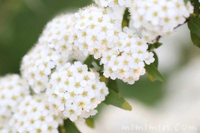 小手毬の花の写真・花言葉