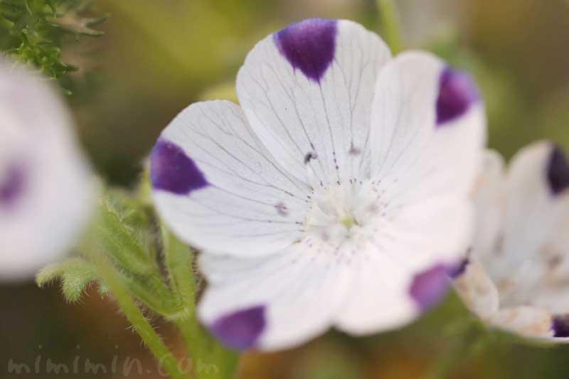 ネモフィラ・マクラタの花の写真と花言葉