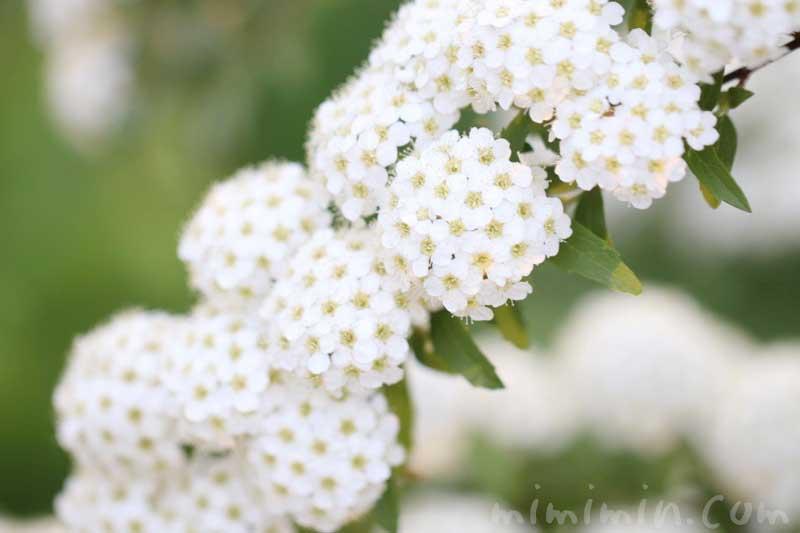 コデマリの花言葉の画像
