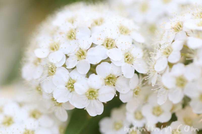 コデマリの写真・花言葉の画像