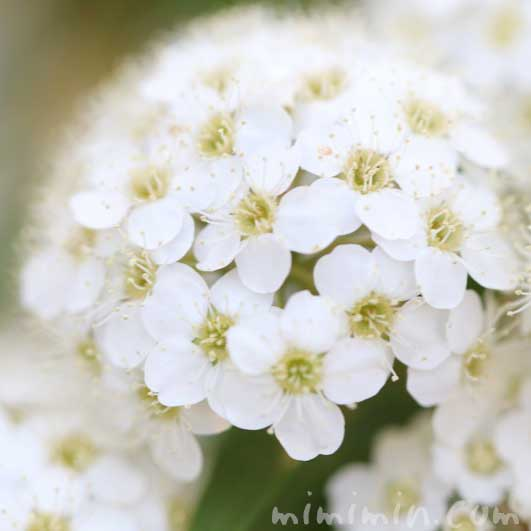 小手毬の写真・花言葉