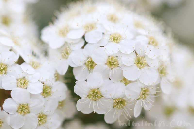 コデマリの花の写真・花言葉の画像