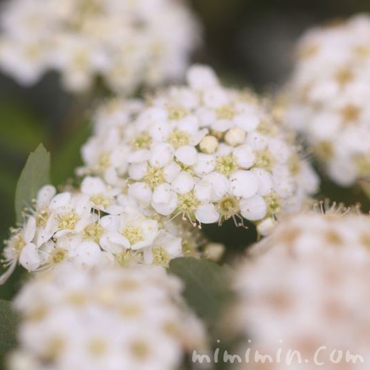コデマリの花の写真