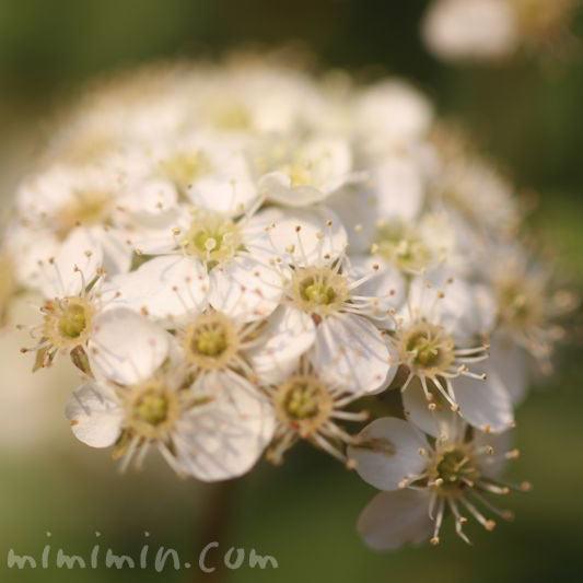 小手毬の花の画像